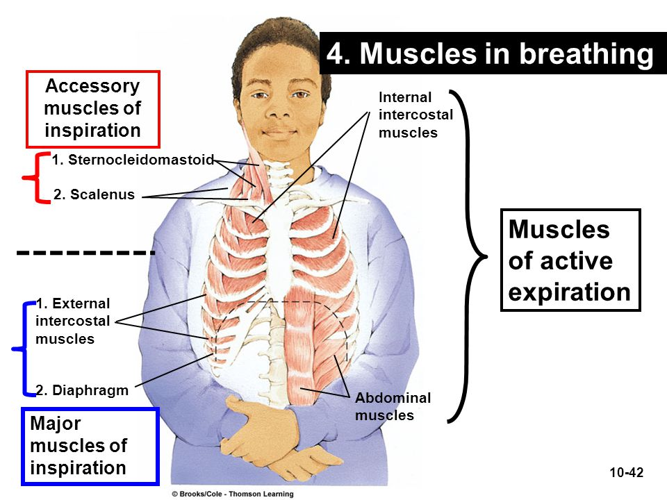 Accessory muscles of inspiration Muscles of active expiration Major muscles of inspiration 1. Sternocleidomastoid 2. Scalenus 1. External intercostal