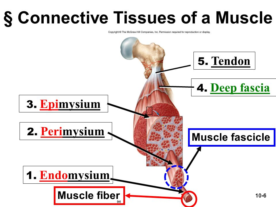 10-6 § Connective Tissues of a Muscle 2. Perimysium 3. Epimysium 1. Endomysium 5. Tendon 4. Deep fascia Muscle fascicle Muscle fiber