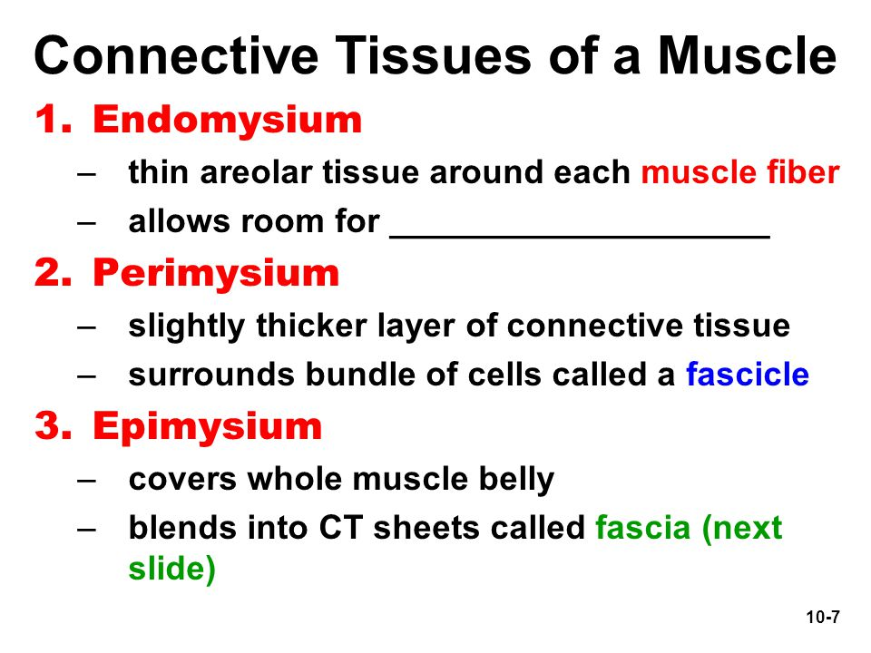 10-7 Connective Tissues of a Muscle 1.Endomysium –thin areolar tissue around each muscle fiber –allows room for ____________________ 2.Perimysium –sli