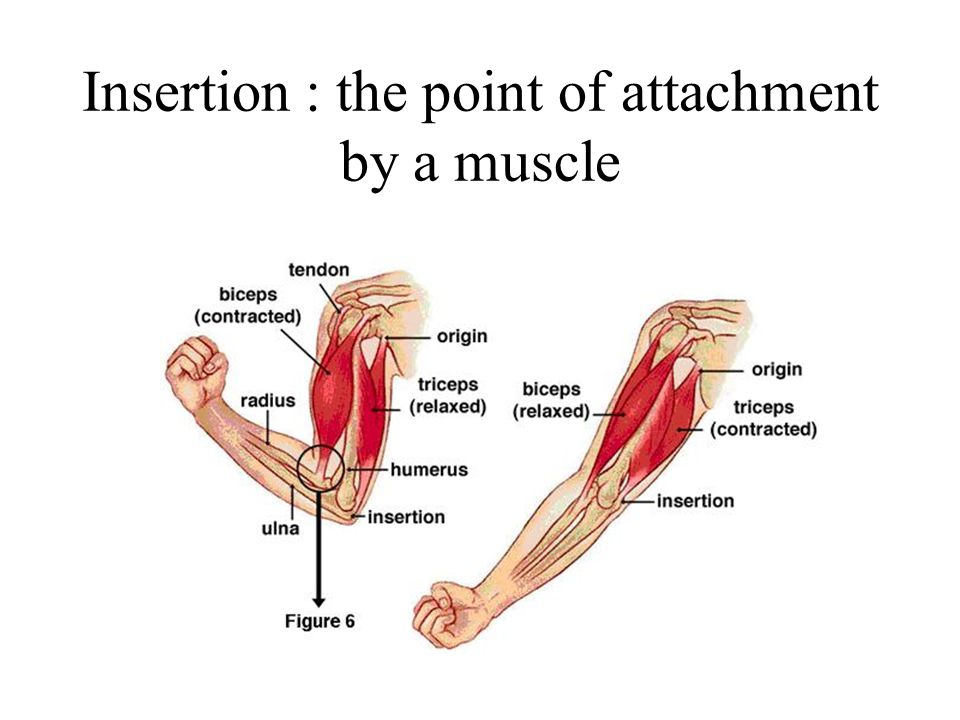 Insertion : the point of attachment by a muscle