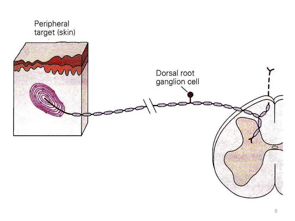 Sensory Innervation of the Muscle Spindle receptor portion central portion  The receptor portion of the muscle spindle is its central portion.