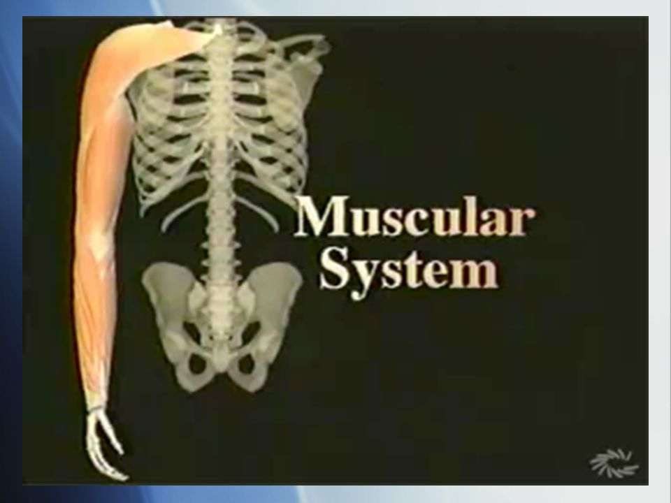 2 Muscle Categories Voluntary Muscles Involuntary Muscles Skeletal Cardiac Smooth