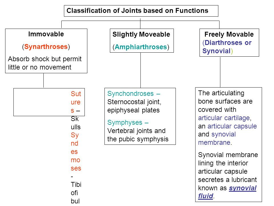 Classification of Joints based on Functions Synchondroses – Sternocostal joint, epiphyseal plates Symphyses – Vertebral joints and the pubic symphysis Immovable (Synarthroses) Absorb shock but permit little or no movement Slightly Moveable (Amphiarthroses) Freely Movable (Diarthroses or Synovial) The articulating bone surfaces are covered with articular cartilage, an articular capsule and synovial membrane.