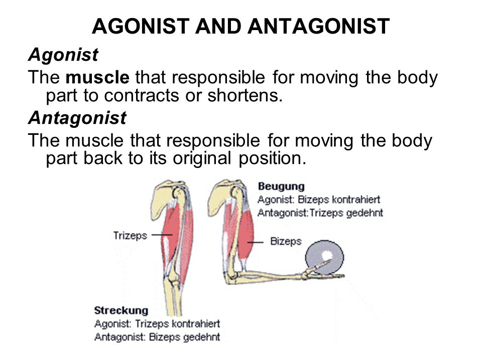 AGONIST AND ANTAGONIST Agonist The muscle that responsible for moving the body part to contracts or shortens.