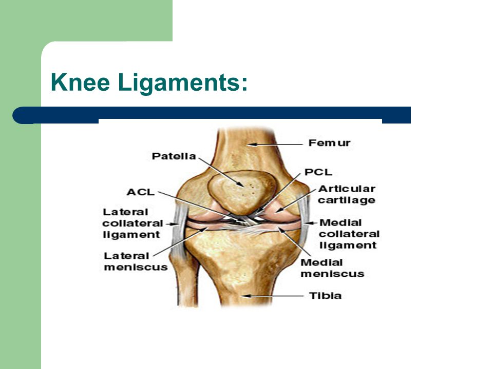 Knee Ligaments: