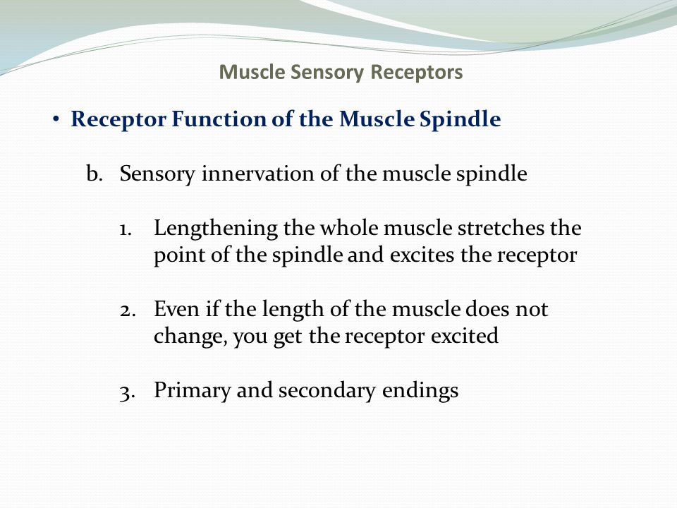 Muscle Sensory Receptors Receptor Function of the Muscle Spindle b.Sensory innervation of the muscle spindle 1.Lengthening the whole muscle stretches