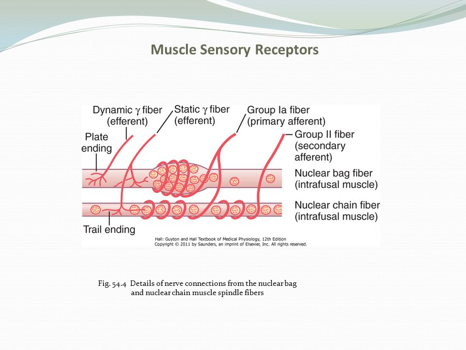 Muscle Sensory Receptors Fig. 54.4 Details of nerve connections from the nuclear bag and nuclear chain muscle spindle fibers