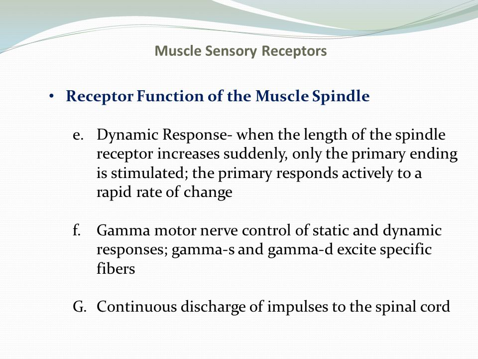Muscle Sensory Receptors Receptor Function of the Muscle Spindle e.Dynamic Response- when the length of the spindle receptor increases suddenly, only