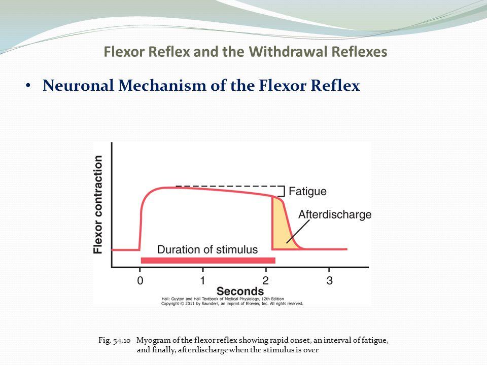 Crossed Extensor Reflex Neuronal Mechanism Fig.
