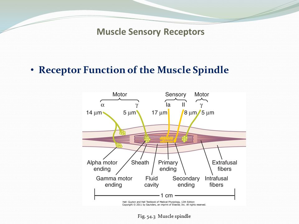 Muscle Sensory Receptors Receptor Function of the Muscle Spindle Fig. 54.3 Muscle spindle