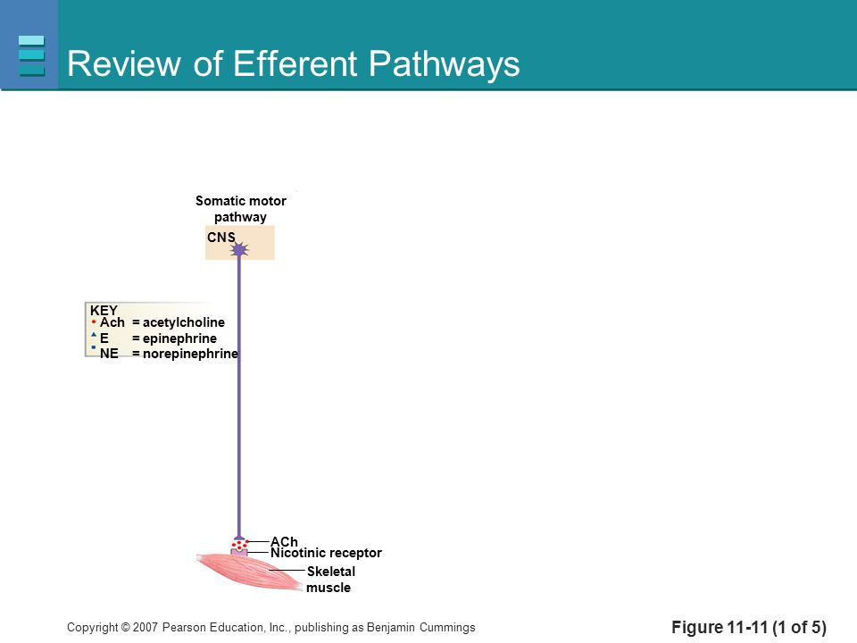 Copyright © 2007 Pearson Education, Inc., publishing as Benjamin Cummings Review of Efferent Pathways Figure 11-11 (1 of 5) Somatic motor pathway CNS