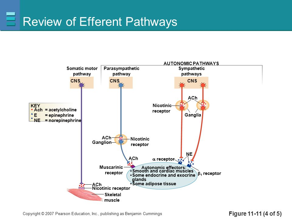 Copyright © 2007 Pearson Education, Inc., publishing as Benjamin Cummings Review of Efferent Pathways Figure 11-11 (4 of 5) ACh Somatic motor pathway