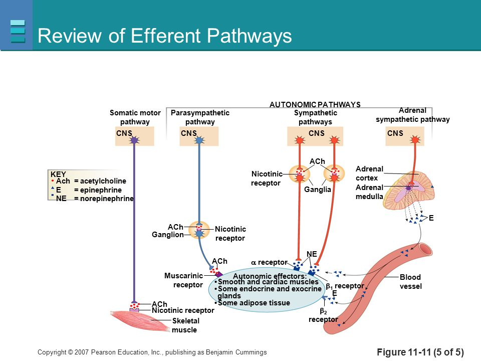 Copyright © 2007 Pearson Education, Inc., publishing as Benjamin Cummings Review of Efferent Pathways Figure 11-11 (5 of 5) ACh Somatic motor pathway