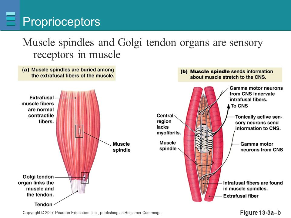 Copyright © 2007 Pearson Education, Inc., publishing as Benjamin Cummings Figure 13-3a–b Proprioceptors Muscle spindles and Golgi tendon organs are se