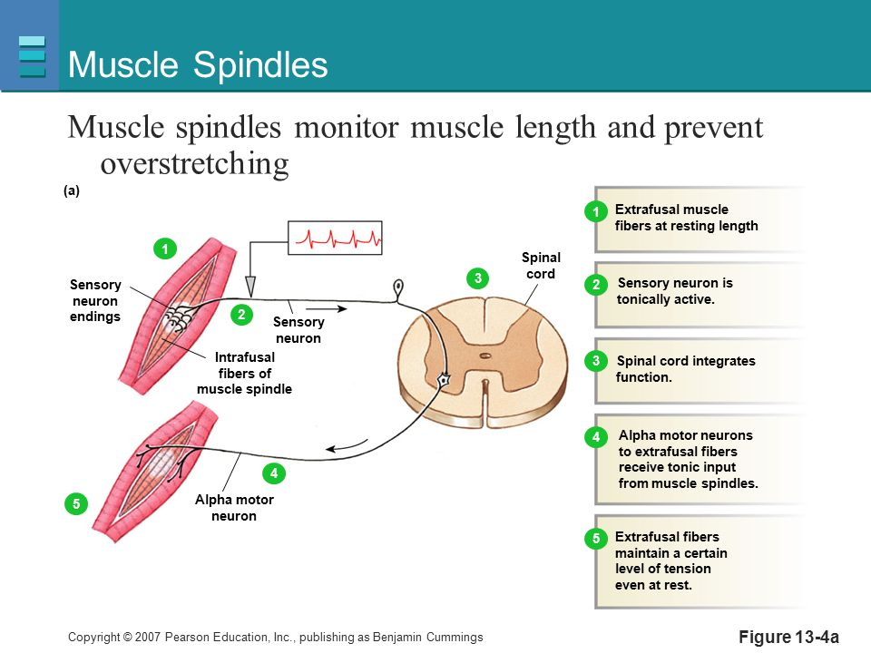 Copyright © 2007 Pearson Education, Inc., publishing as Benjamin Cummings Figure 13-4a Muscle Spindles Muscle spindles monitor muscle length and preve
