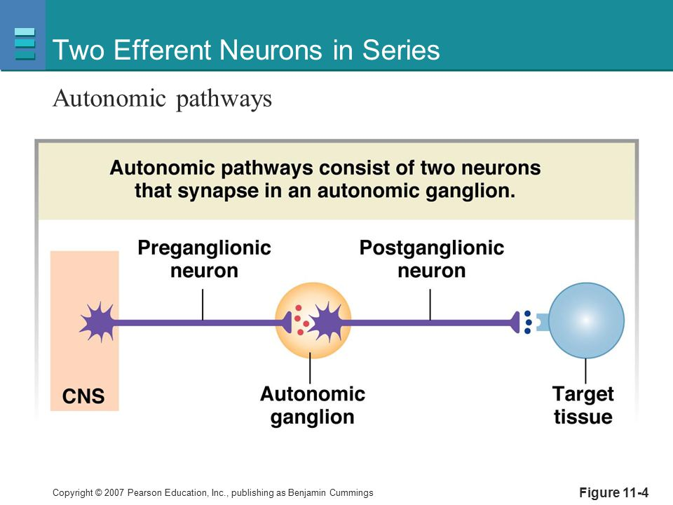Copyright © 2007 Pearson Education, Inc., publishing as Benjamin Cummings Two Efferent Neurons in Series Autonomic pathways Figure 11-4