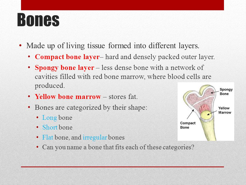 Bones Made up of living tissue formed into different layers. Compact bone layer– hard and densely packed outer layer. Spongy bone layer – less dense b