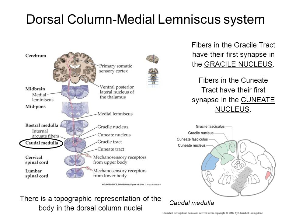 Dorsal Column-Medial Lemniscus system Fibers in the Gracile Tract have their first synapse in the GRACILE NUCLEUS. Fibers in the Cuneate Tract have th