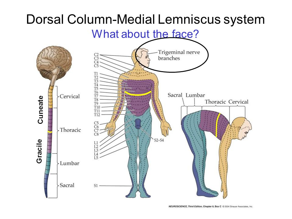Dorsal Column-Medial Lemniscus system Gracile Cuneate What about the face?