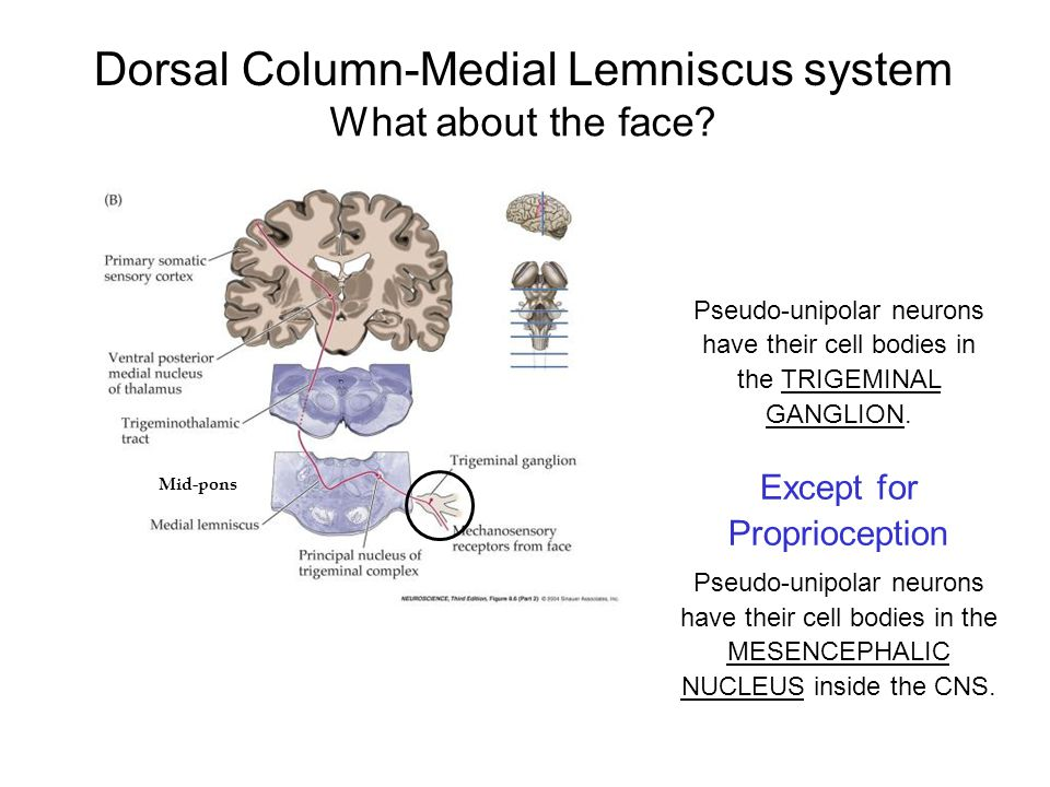 Dorsal Column-Medial Lemniscus system Pseudo-unipolar neurons have their cell bodies in the TRIGEMINAL GANGLION. What about the face? Mid-pons Except