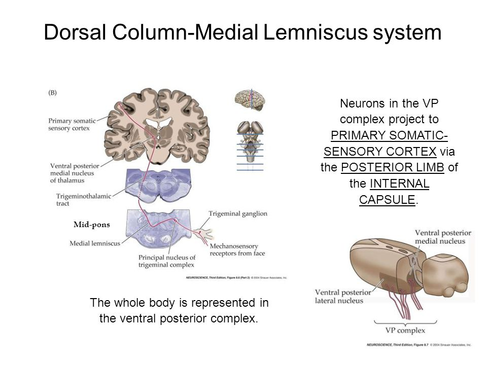 Dorsal Column-Medial Lemniscus system Neurons in the VP complex project to PRIMARY SOMATIC- SENSORY CORTEX via the POSTERIOR LIMB of the INTERNAL CAPS