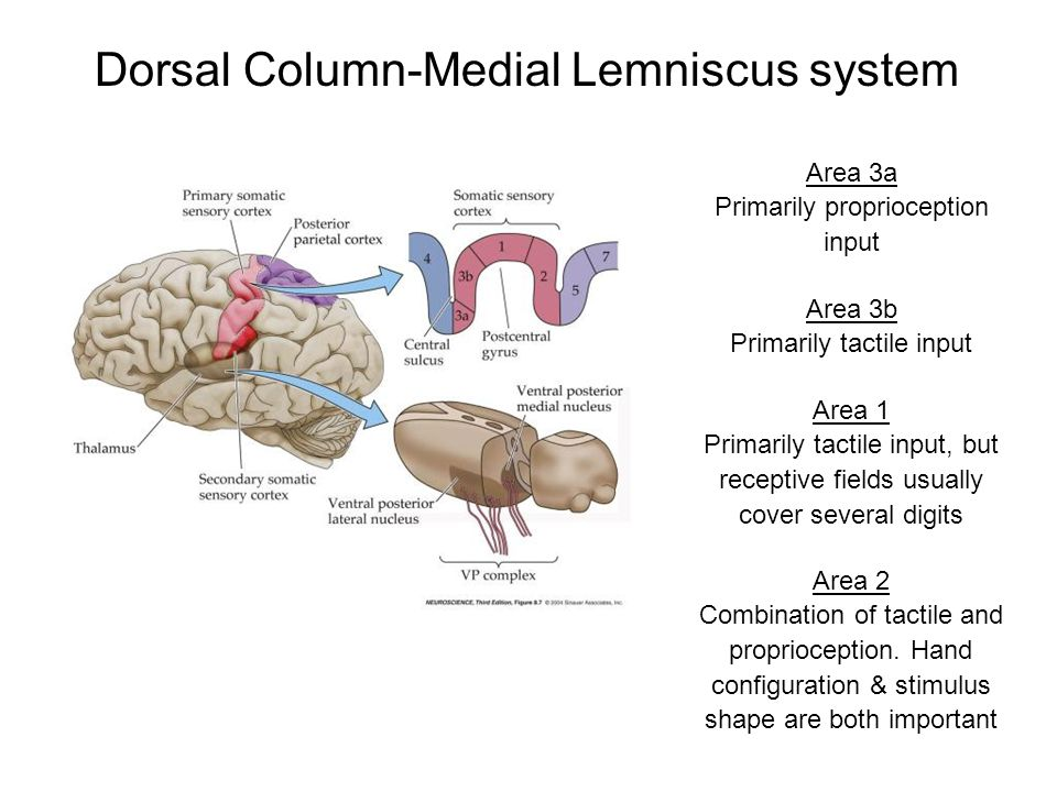 Dorsal Column-Medial Lemniscus system Area 3a Primarily proprioception input Area 3b Primarily tactile input Area 1 Primarily tactile input, but recep