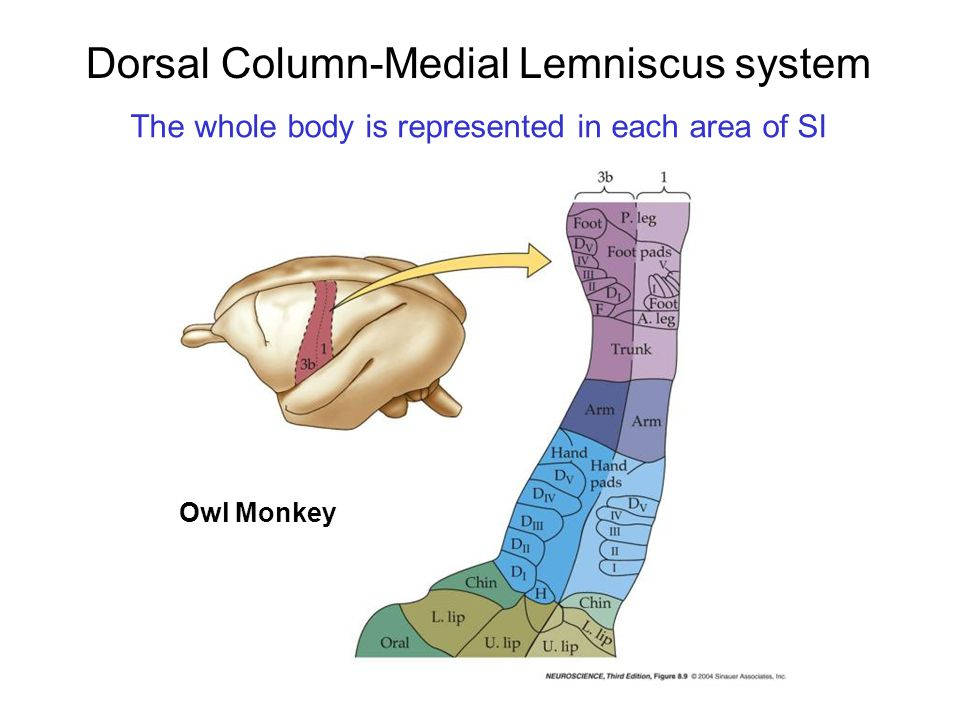 Dorsal Column-Medial Lemniscus system The whole body is represented in each area of SI Owl Monkey