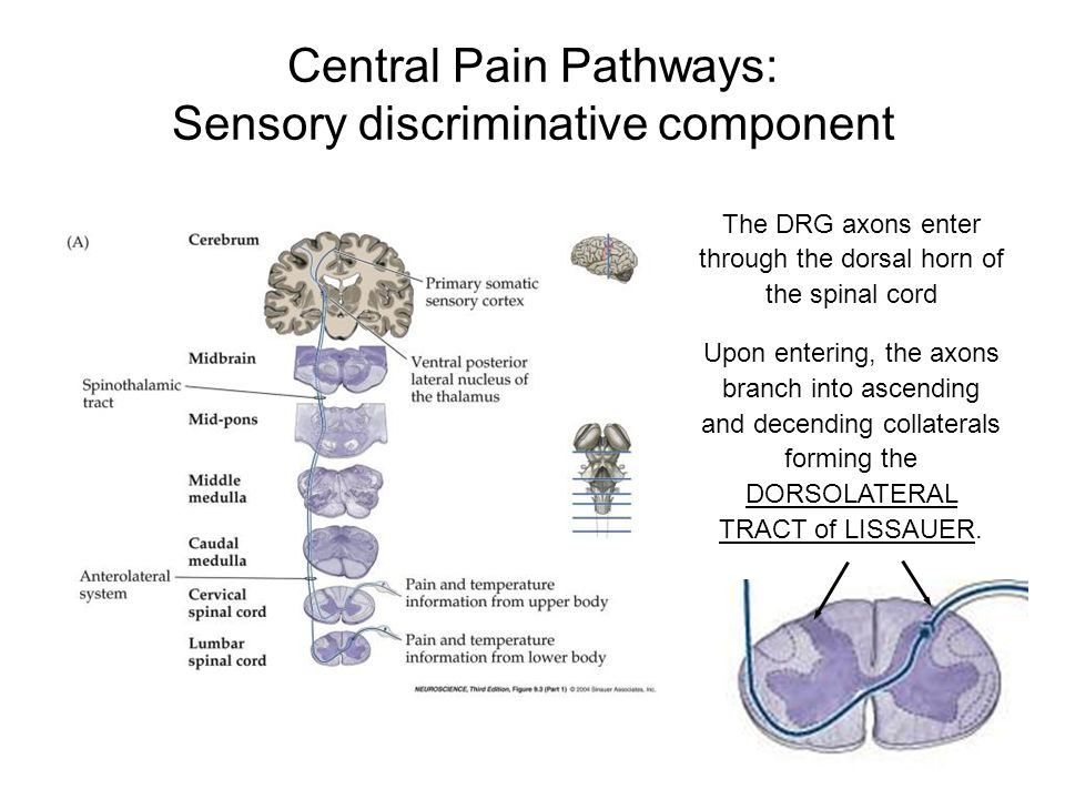 Central Pain Pathways: Sensory discriminative component The DRG axons enter through the dorsal horn of the spinal cord Upon entering, the axons branch