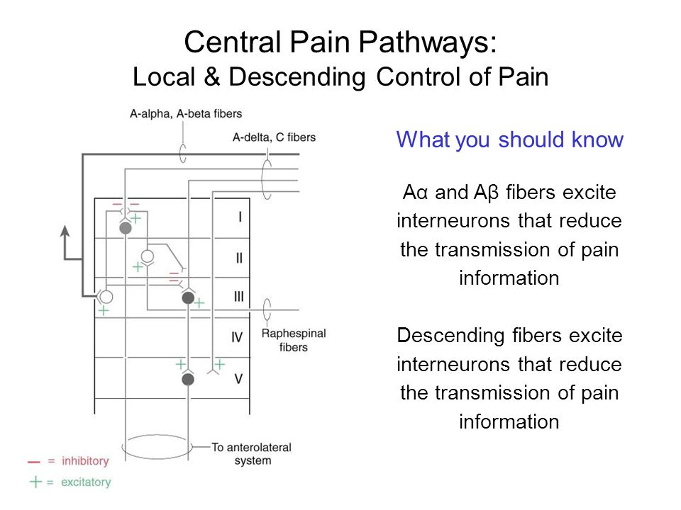 Central Pain Pathways: Local & Descending Control of Pain What you should know Aα and Aβ fibers excite interneurons that reduce the transmission of pa