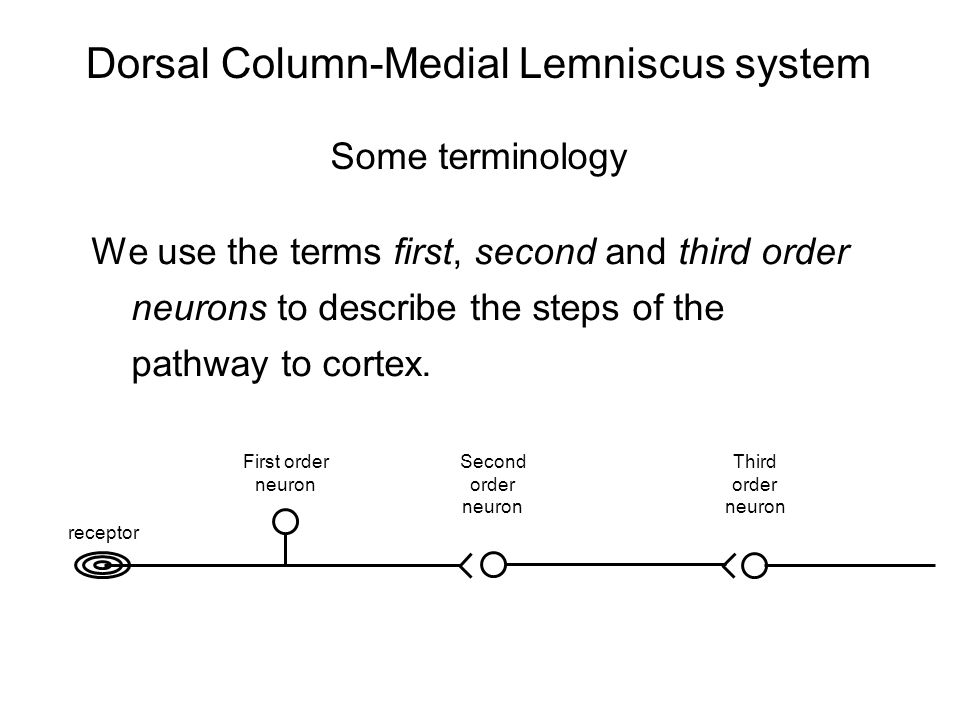 Dorsal Column-Medial Lemniscus system Some terminology We use the terms first, second and third order neurons to describe the steps of the pathway to