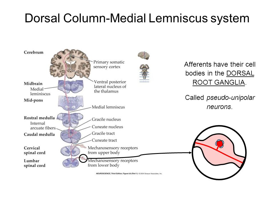 Dorsal Column-Medial Lemniscus system Afferents have their cell bodies in the DORSAL ROOT GANGLIA. Called pseudo-unipolar neurons.