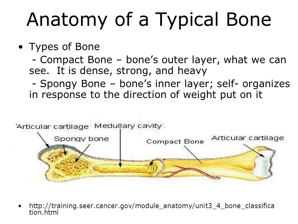 Anatomy of a Typical Bone Types of Bone - Compact Bone – bone's outer layer, what we can see.