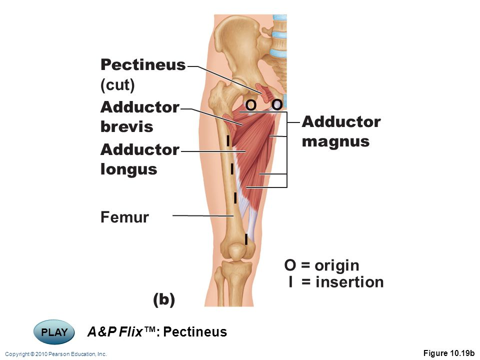 Copyright © 2010 Pearson Education, Inc. Figure 10.19b (b) O = origin I = insertion Adductor magnus Pectineus (cut) Adductor brevis Adductor longus Fe