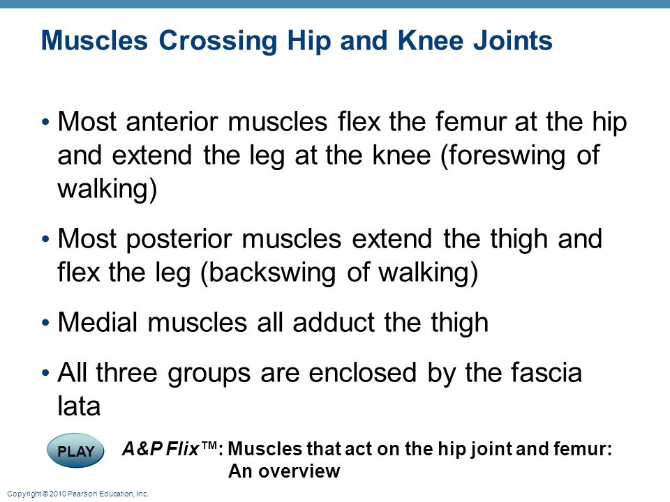 Copyright © 2010 Pearson Education, Inc. Muscles Crossing Hip and Knee Joints Most anterior muscles flex the femur at the hip and extend the leg at th