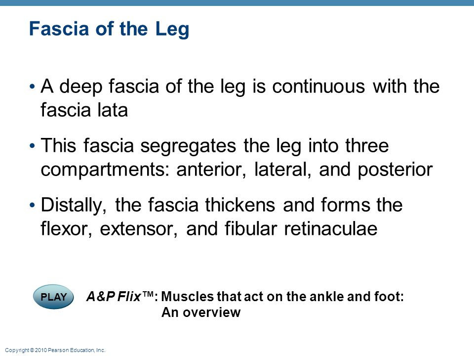 Copyright © 2010 Pearson Education, Inc. Fascia of the Leg A deep fascia of the leg is continuous with the fascia lata This fascia segregates the leg
