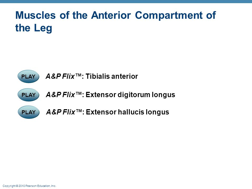 Copyright © 2010 Pearson Education, Inc. Muscles of the Anterior Compartment of the Leg PLAY A&P Flix™: Extensor digitorum longus PLAY A&P Flix™: Tibi