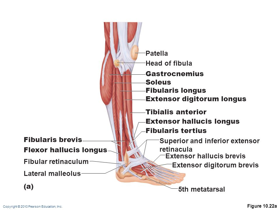 Copyright © 2010 Pearson Education, Inc. Figure 10.22a Patella Head of fibula Gastrocnemius Soleus Fibularis longus Extensor digitorum longus Tibialis