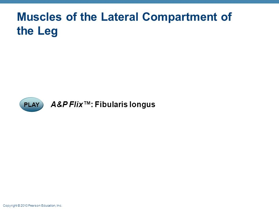 Copyright © 2010 Pearson Education, Inc. Muscles of the Lateral Compartment of the Leg PLAY A&P Flix™: Fibularis longus