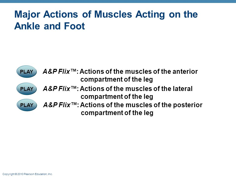 Copyright © 2010 Pearson Education, Inc. PLAY A&P Flix™: Actions of the muscles of the lateral compartment of the leg PLAY A&P Flix™: Actions of the m