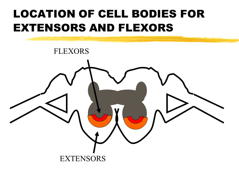 LOCATION OF CELL BODIES FOR EXTENSORS AND FLEXORS FLEXORS EXTENSORS