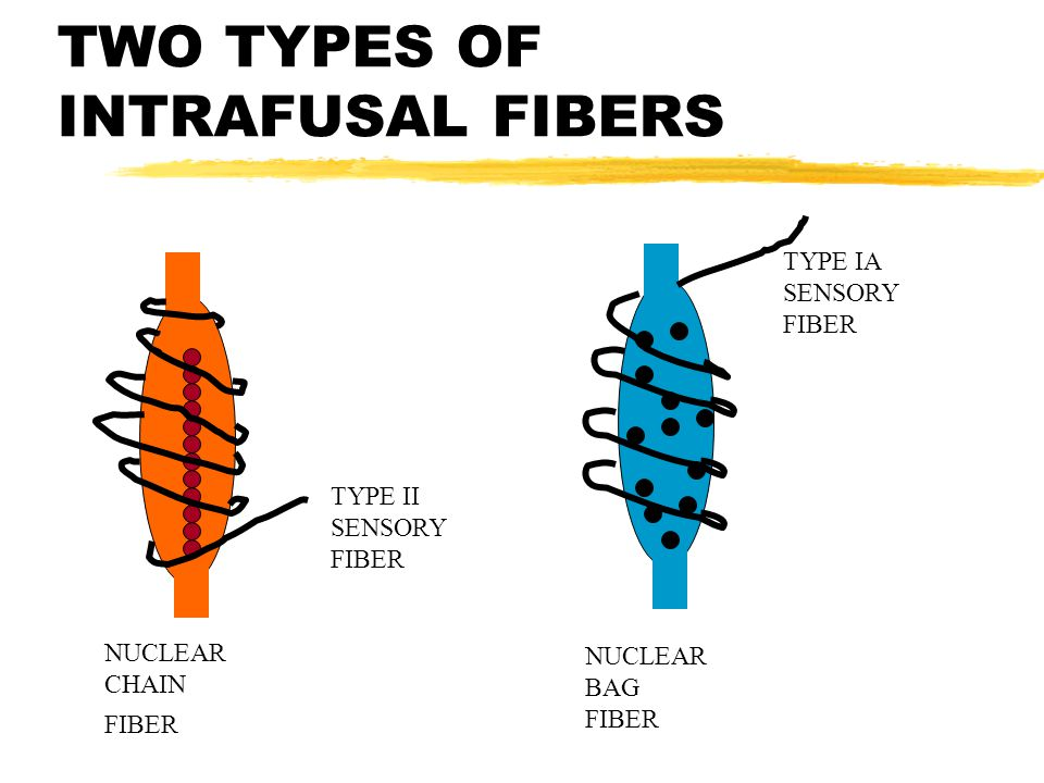 TWO TYPES OF INTRAFUSAL FIBERS NUCLEAR CHAIN FIBER NUCLEAR BAG FIBER TYPE II SENSORY FIBER TYPE IA SENSORY FIBER