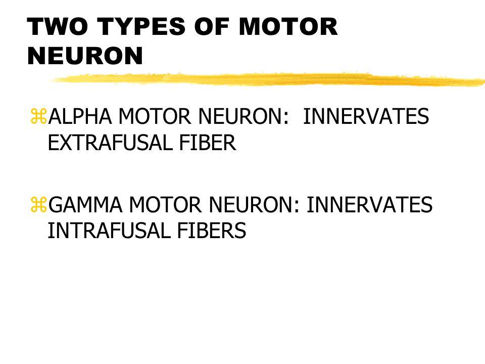 TWO TYPES OF MOTOR NEURON zALPHA MOTOR NEURON: INNERVATES EXTRAFUSAL FIBER zGAMMA MOTOR NEURON: INNERVATES INTRAFUSAL FIBERS