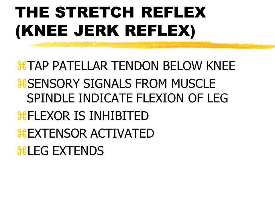 THE STRETCH REFLEX (KNEE JERK REFLEX) zTAP PATELLAR TENDON BELOW KNEE zSENSORY SIGNALS FROM MUSCLE SPINDLE INDICATE FLEXION OF LEG zFLEXOR IS INHIBITED zEXTENSOR ACTIVATED zLEG EXTENDS