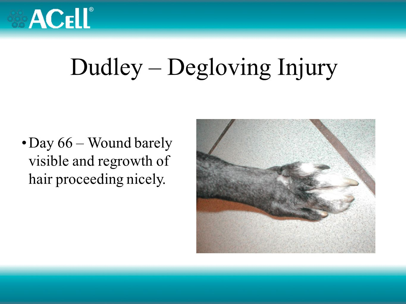 Dudley – Degloving Injury Day 66 – Wound barely visible and regrowth of hair proceeding nicely.