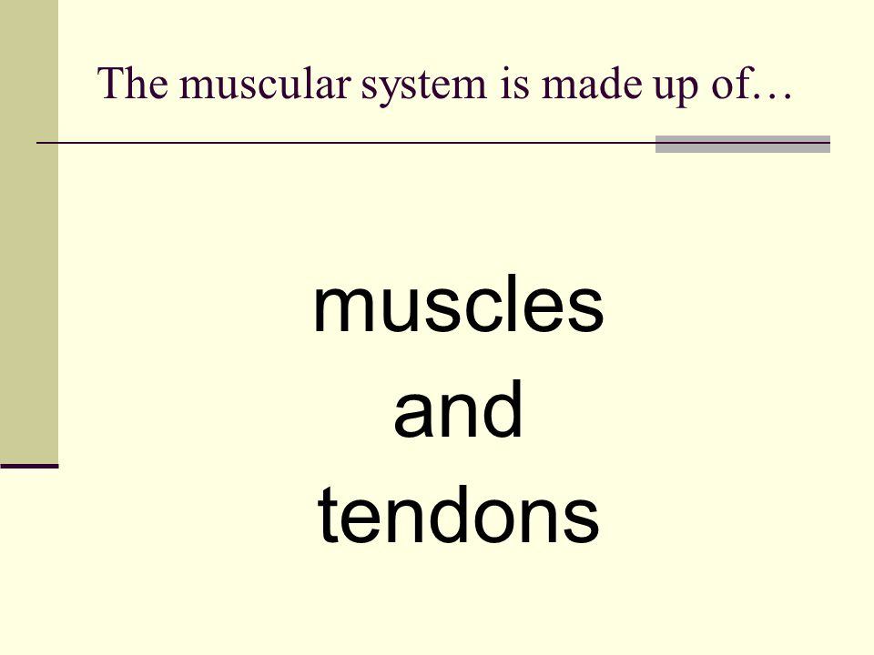The muscular system is made up of… muscles and tendons