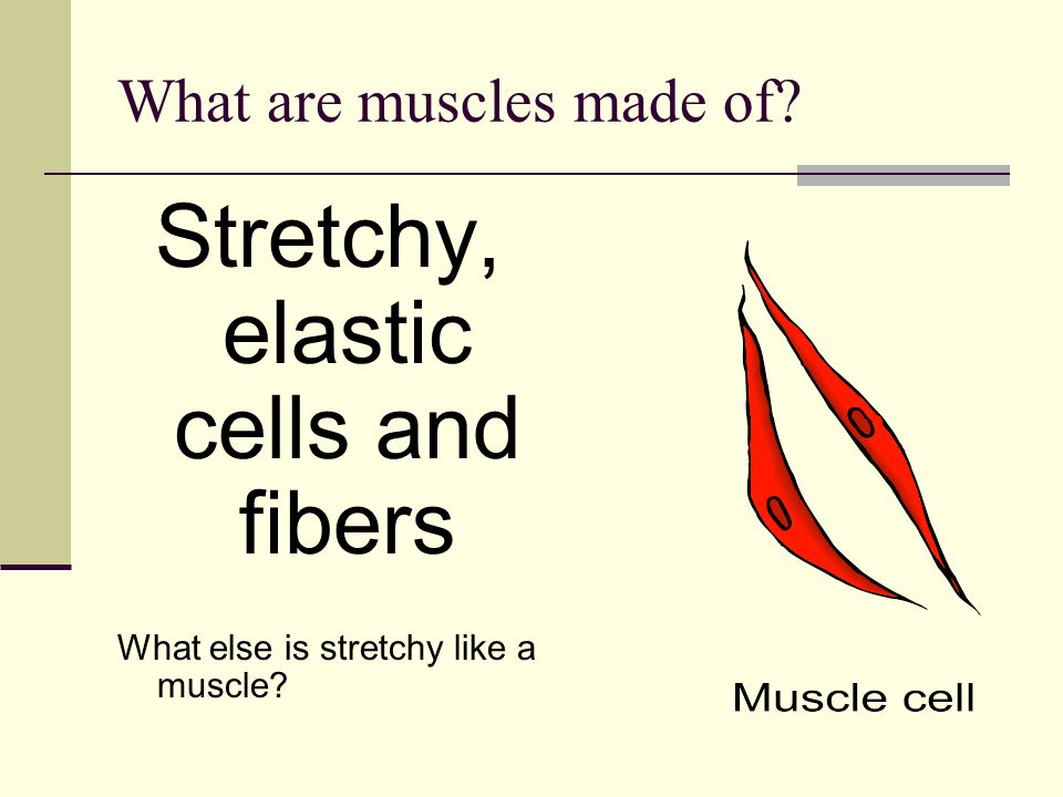 What are muscles made of? Stretchy, elastic cells and fibers What else is stretchy like a muscle?