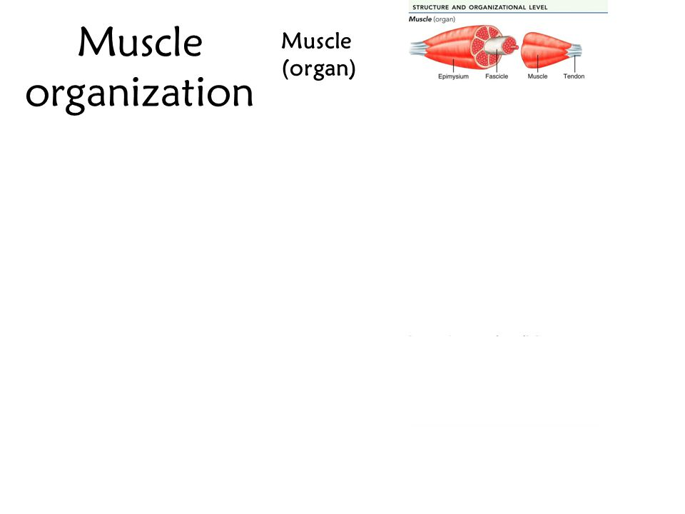 Muscle organization Muscle (organ) Fascicle Muscle fiber (cell) Myofibril Sarcomere Myofilaments: Actin & Myosin