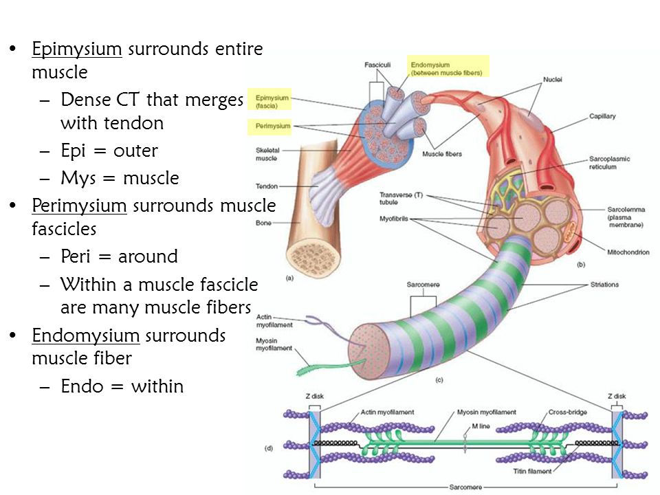 Epimysium surrounds entire muscle –Dense CT that merges with tendon –Epi = outer –Mys = muscle Perimysium surrounds muscle fascicles –Peri = around –W