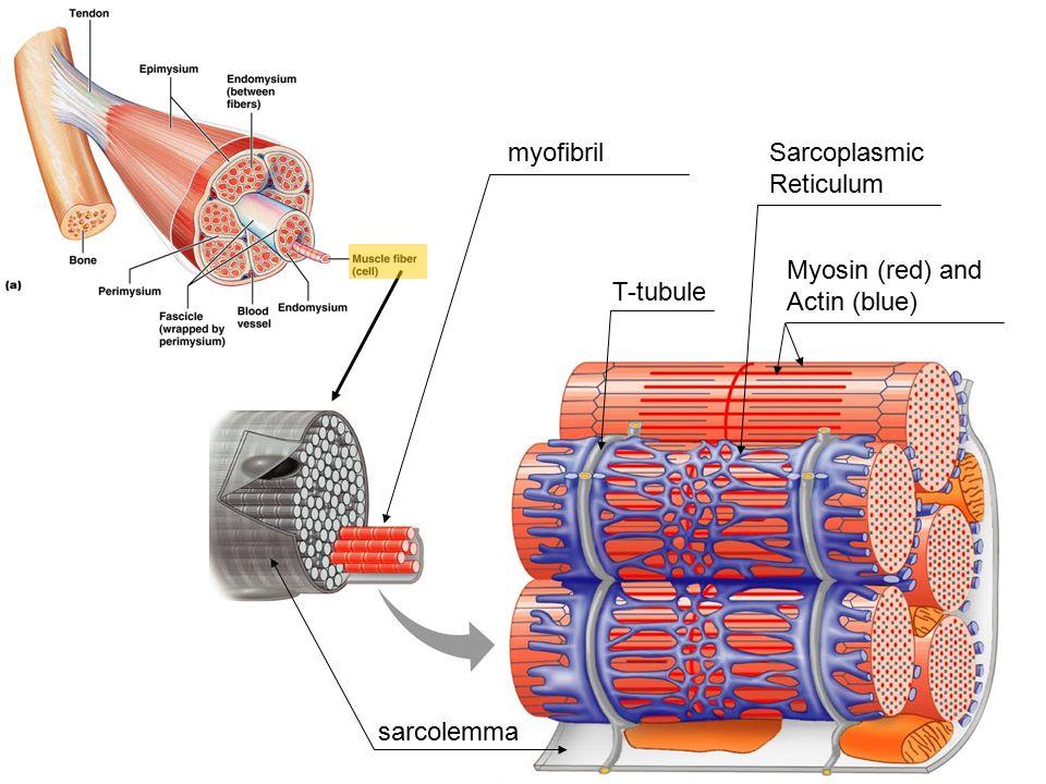 myofibril sarcolemma T-tubule Sarcoplasmic Reticulum Myosin (red) and Actin (blue)