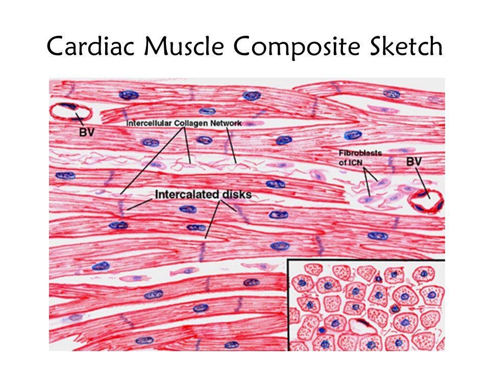 Cardiac Muscle Composite Sketch